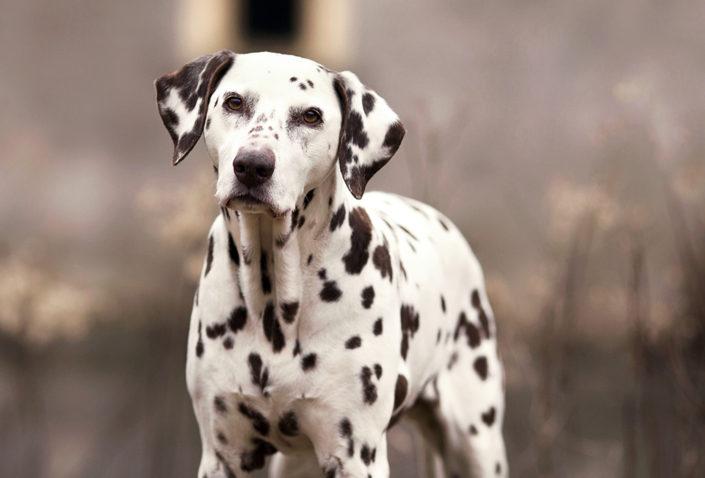 Professionelle Hundefotografie Dalmatiner im Winter in Senden