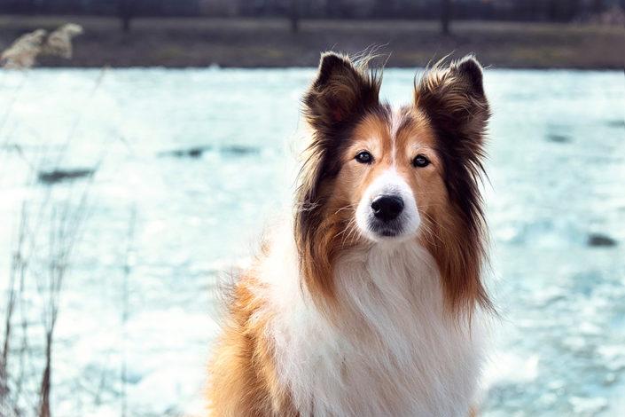 Hundefotografie Collie Cora im Winter am Kanal, Senden