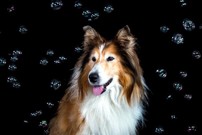 Hundefotografie Hund im Studio, Hannover