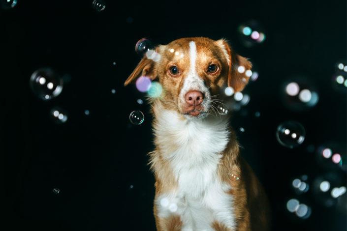 Professionelle Hundefotografie Hund im Studio mit Seifenblasen