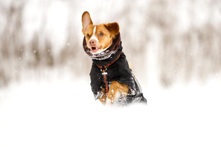 Hundefotografie Twix im Schnee, Hannover 2021