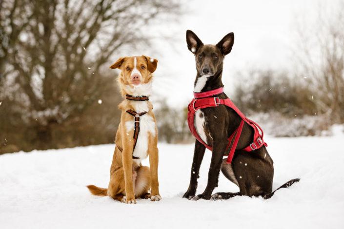 Professionelle Hundefotografie Fotoshooting Hund im Schnee in Hannover