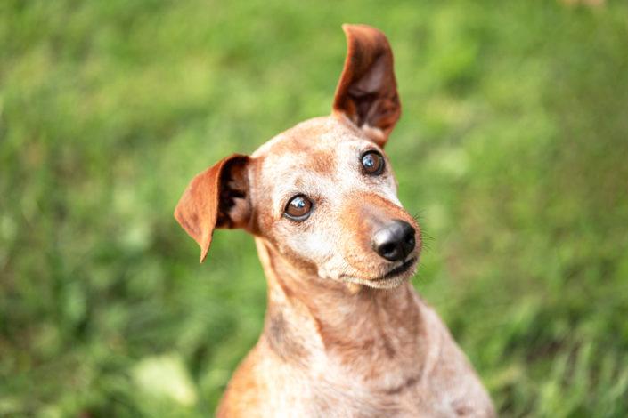 Professionelle Hundefotografie Fotoshooting Hund in Hannover