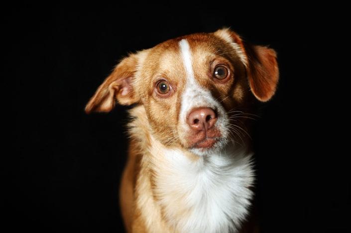 Professionelle Hundefotografie Fotoshooting im Studio in Hannover