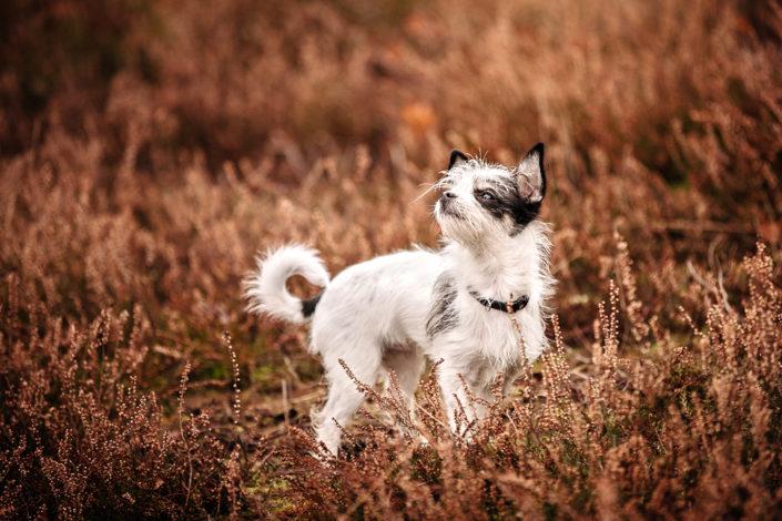 Professionelle Hundefotografie Fotoshooting Hund in der Heide, Wedemark